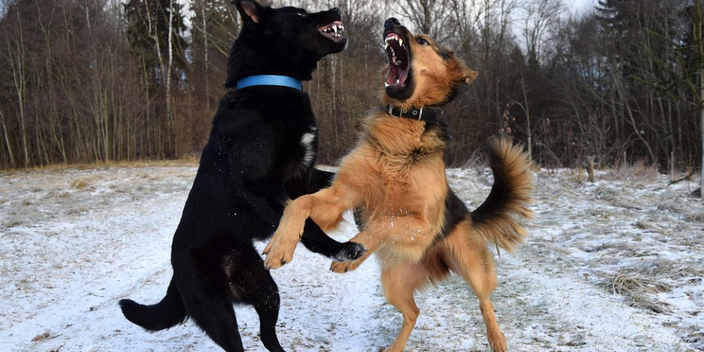 dog fight betting,betting on dogs, blood sports, dog fight, weird bets, online sportsbooks, weirdest betting markets, weird betting odds, dog fight gambling, dog fighting gambling news, GamingZion, Mobile Betting, Online gambling, US Gambling Laws