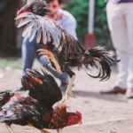 What's Wrong With Cockfighting?