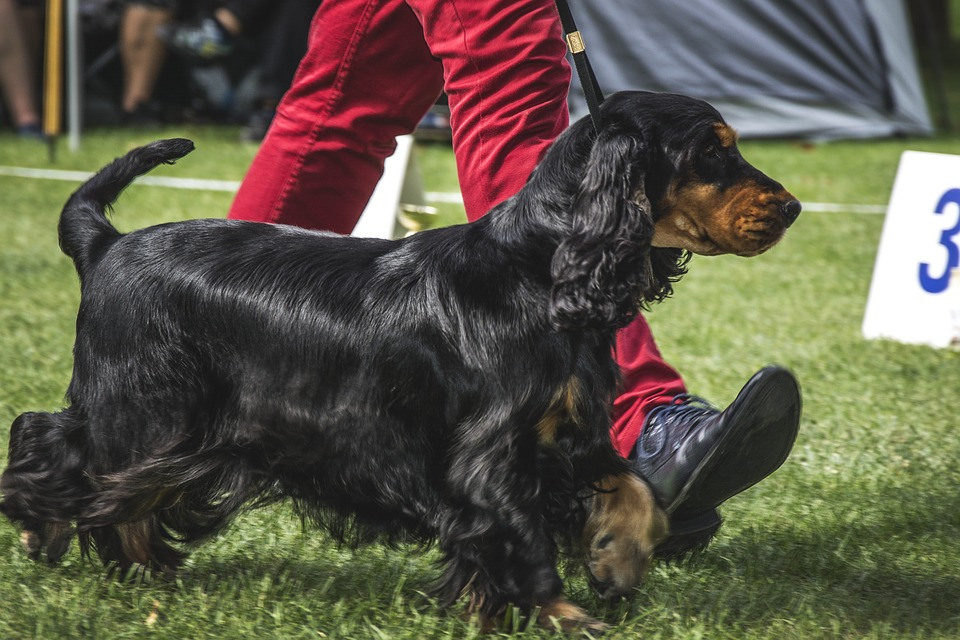 crufts dog show, best of show crufts, betting on crufts, dog show, cynophilist, gamingzion.com, online betting, online bookmaker, sportsbooks, showing dogs, dog breeds, Betway, Ladbrokes, dog betting, RSPCA, gundog, Terrier, Pastoral dog, toy dog