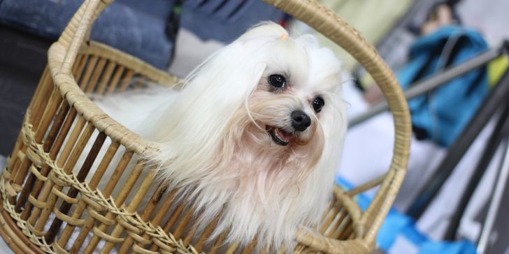 crufts dog show, best of show crufts, betting on crufts, dog show, cynophilist, gamingzion.com, online betting, online bookmaker, sportsbooks, showing dogs, dog breeds, Betway, Ladbrokes, dog betting, PETA, RSPCA, gundog, Terrier, Pastoral dog, toy dog