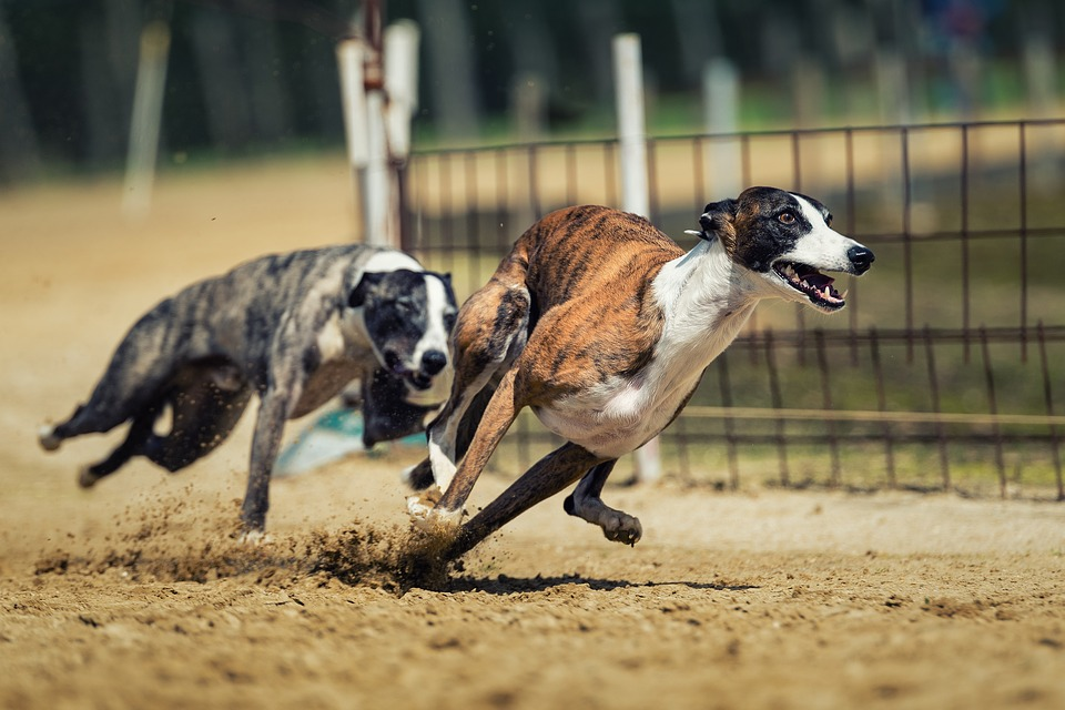 Greyhound Racing Faces Extinction, gamingzion.com, greyhound, greyhound racing, online sportsbooks, online betting, dog racing, greyhound, West Virginia, Florida, sports tracks