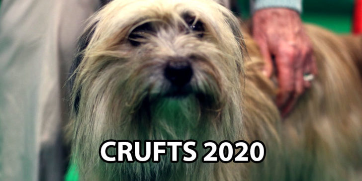 In a Barking Mad World Bet on a Terrier to Win Crufts 2020