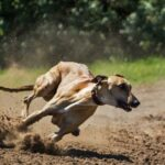 Exciting Greyhound Races in Australia and New Zealand